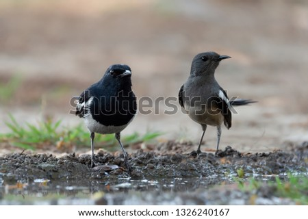 Pair of Oriental Magpie-Robin (Copsychus saulari), standing on mud at puddle on the ground and looking to the same direction. Pair of Oriental Magpie-Robin at puddle #1326240167