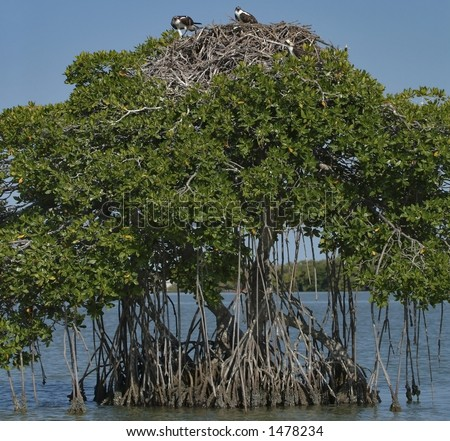 pair of ospreys at their nest in mangrove tree in florida bay, everglades national park,florida