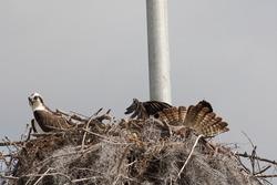 Pair of Ospreys In Nest