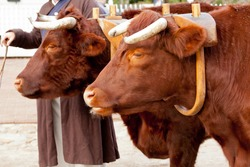 Pair of oxen in a wooden yoke for pulling cart or machinery