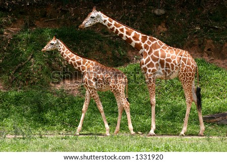Pair of parent and child Giraffes
