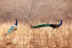 Pair of Peacocks in Ranthambore National Park, Rajasthan, India