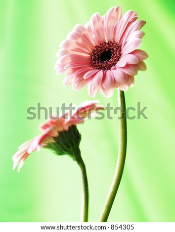 Pair of Pink Gerber Daisies with Green background
