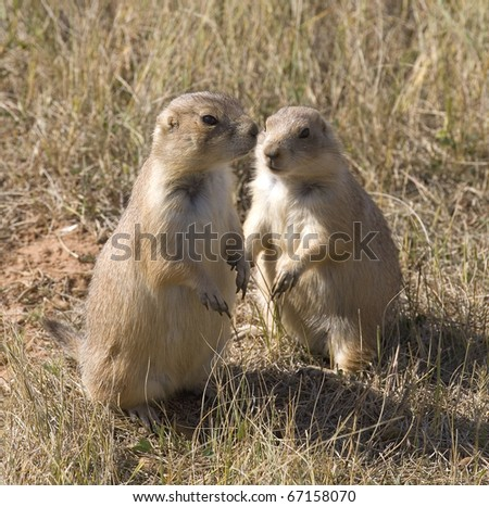 pair of prairie dogs that are out of their hole