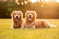 Pair of purebred golden retriever dogs outdoors on grassy field during golden hour at sunset