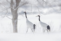Pair of Red-crowned crane with snow storm, Hokkaido, Japan. Snow dance in nature. Wildlife scene from snowy nature.