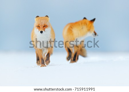 Stock Photo Pair of Red foxes playing in the snow. Funny moment in nature.winter. Wildlife scene from Hokkaido, Japan. Two animals with snowy nature.