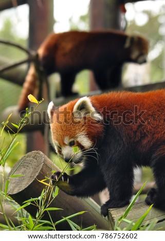 Pair of Red Panda's (Ailurus fulgens) one feeding. Taken at Colchester Zoo, UK. #786752602