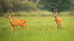 Pair of roe deer, capreolus capreolus, buck and doe in mating season in summer nature. Male animal running after female. Concept of chasing love. Wildlife scenery from nature.