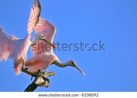 pair of roseate spoonbills landing in tree snag in florida wetland