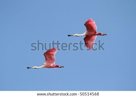 Pair of Roseate Spoonbills (Platalea ajaja) flying over the Florida Everglades
