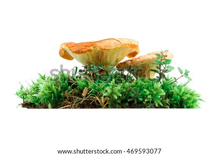 Pair of saffron milk cap fungi in moss isolated over white background