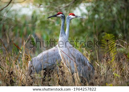 Pair of sandhill cranes during mating season close up together Foto stock ©