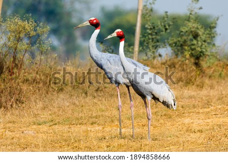 Pair of Sarus Crane standing together   Foto stock ©
