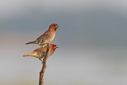 Pair of scaly breasted munia
