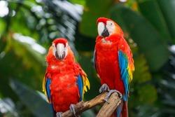 Pair of Scarlet Macaw in Singapore bird park