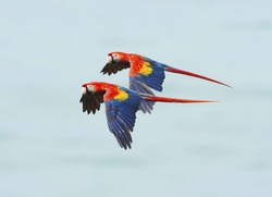 pair of scarlet macaws flying, carate, corcovado national park, golfo dulce, costa rica, central america near panama