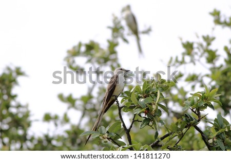 Pair of Scissor-tailed Flycatcher (Tyrannus forficatus) perched in live oak tree after rain storm.  Water drops in focus on Live Oak Leaves.  Strong back light.  Selective focus with one bird sharp.