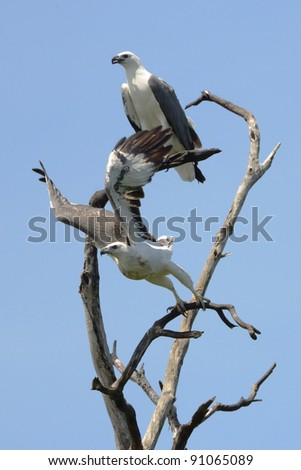 pair of sea eagles on a tree