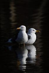 Pair of sea gulls in calm water. Beautiful lighting and contrast. Shot in Sweden, Scandinavia