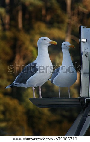 Pair of Seagulls #679985710