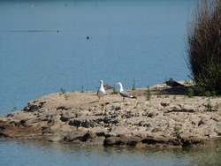 pair of seagulls defending their chicks from a possible attack by a bird of prey, in the ivars lake and vila sana, lerida, spain