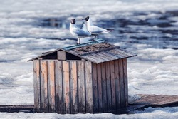 Pair of seagulls sitting on the bird house roof among the melting ice pf the lake.