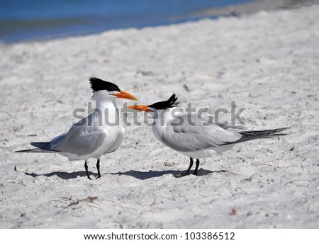 Pair of Skimmers, St Petersburg Florida
