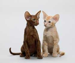 Pair of Small Oriental Shorthair kittens