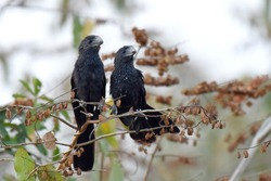 Pair of Smooth-billed Ani. The smooth-billed ani (Crotophaga ani) is a large near passerine bird in the cuckoo family.