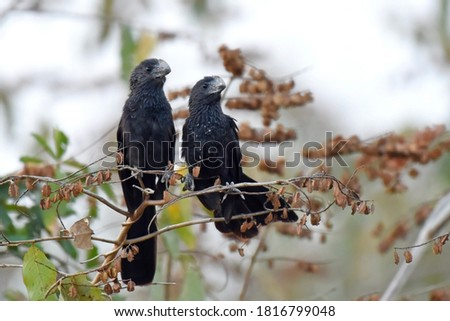 Pair of Smooth-billed Ani. The smooth-billed ani (Crotophaga ani) is a large near passerine bird in the cuckoo family. Foto stock ©