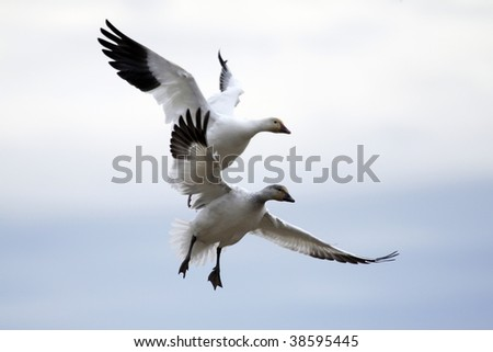 Pair of snow geese approaching a landing area against cloudy sky