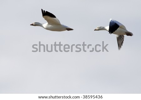 Pair of snow geese migrating against backlit sunset