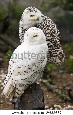 Pair of Snowy owls, male and female