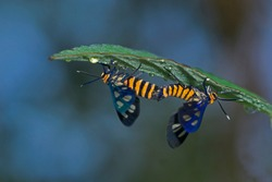 Pair of southeast Asia tiger moth or  the wasp moth (Amata huebneri) mating under a wet green leaf covered with water droplets in Jawa Island