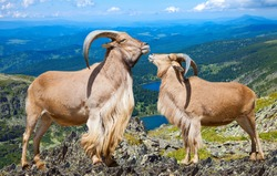 Pair of Standing barbary sheeps in wildness area in sunny day