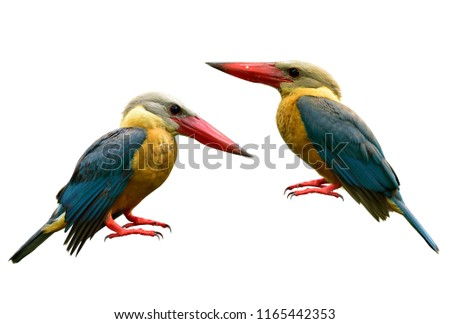 Pair of Stork-billed kingfisher (Pelargopsis capensis) beautiful yellow to brown bird with turqouise wings and big red beaks isolated on white background, exotic animal