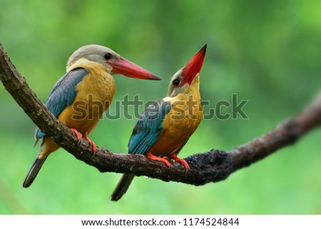 Pair of Stork-billed kingfisher (Pelargopsis capensis) sitting beside each oter on wooden branch over blur green background, exotic wild animal family