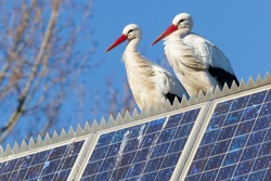 Pair of storks standing on a solar panel, winter
