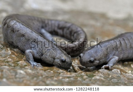 Pair of Streamside salamanders