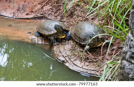 pair of strip-neck turtles in nature