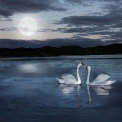 pair of swans at night during the full moonlight