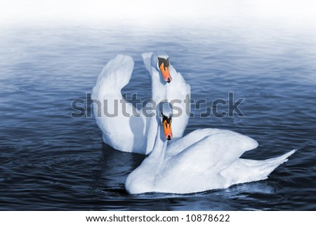 Pair of swans on lake with morning fog. Focus on front swan.