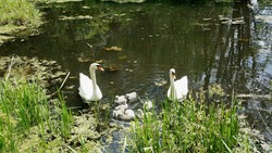 pair of swans with little swan chicks on a wild lake in summer. Love. Family