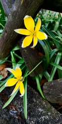 Pair of tulipa tarda flowers, yellow petals, white tips,growing through country fence made of criss-crossed wooden logs.