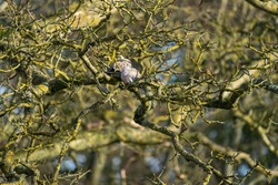 Pair of turtle doves nesting together in a tree