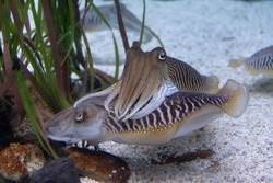 Pair of two cuttlefishes in aquarium with white sand