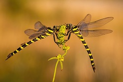 Pair of two dragonflies sitting close to each other in summer. Concept of friendship and love between pair of wild animals. Insect in nature at sunset.