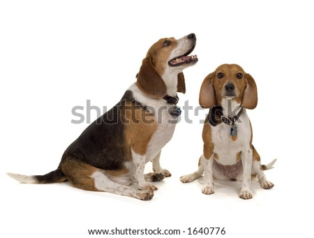 pair of typical pet beagles - 1 male, 1 female