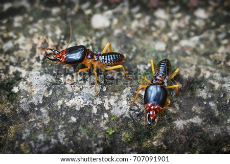 Pair of undeground termite soldiers, standing guard on a lichen encrusted rock in Thailand